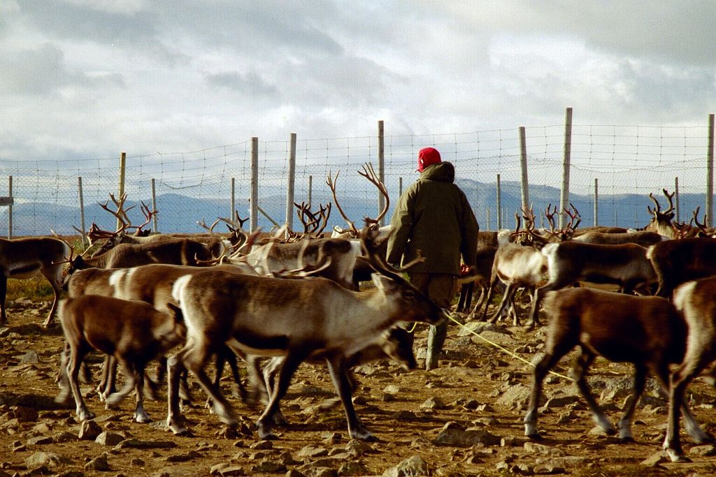 Sami reindeer herder in Sweden, photo by Mats Andersson.